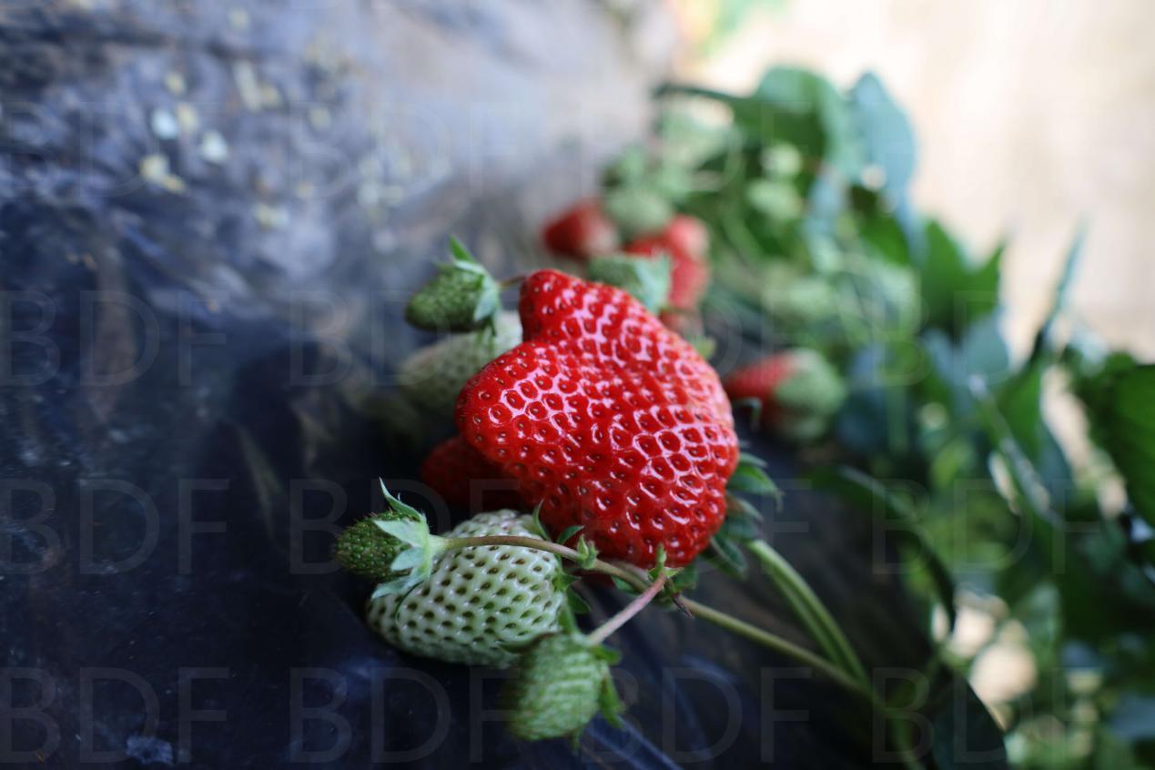 患有白癞风的患者平时可以吃草莓吗